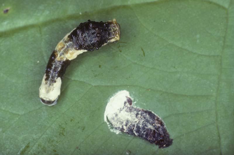[Image: 02-bird-dropping-giant-swallowtail-larva...lorida.jpg]